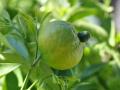citrus_20200415_4