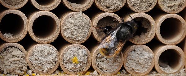 Mauerbiene | Brutröhren